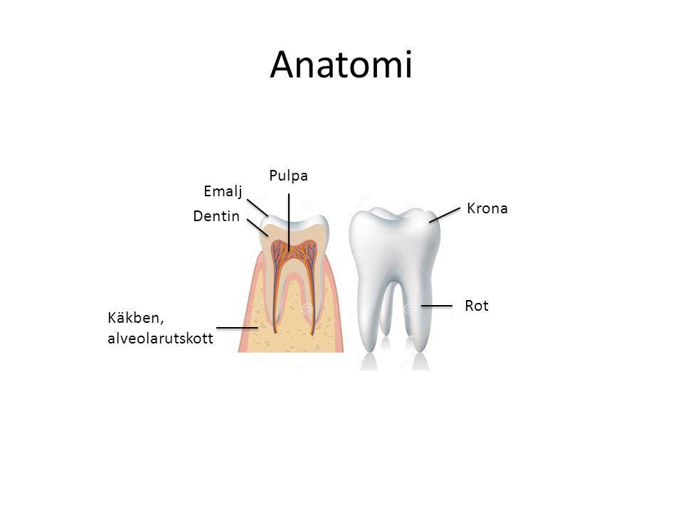 Anatomi Pulpa Emalj Krona Dentin Rot Käkben, alveolarutskott