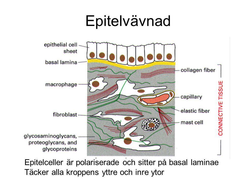 Epitelvävnad Epitelceller är polariserade och sitter på basal laminae