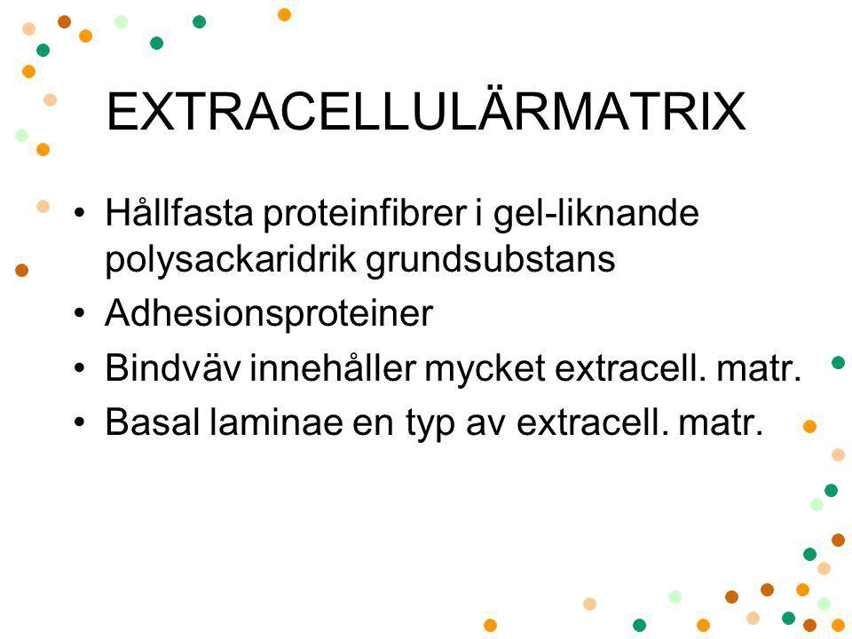 EXTRACELLULÄRMATRIX Hållfasta proteinfibrer i gel-liknande polysackaridrik grundsubstans. Adhesionsproteiner.