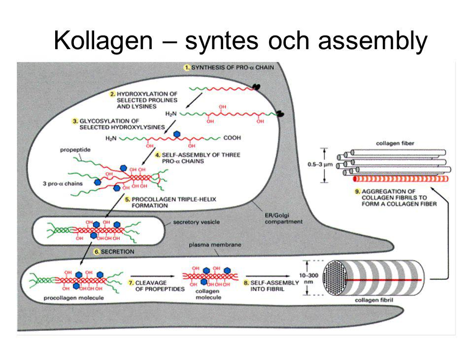 Kollagen – syntes och assembly