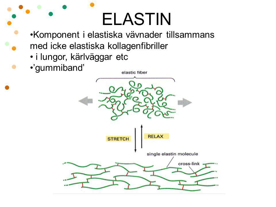 ELASTIN Komponent i elastiska vävnader tillsammans