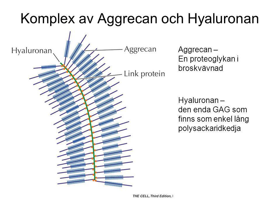 Komplex av Aggrecan och Hyaluronan