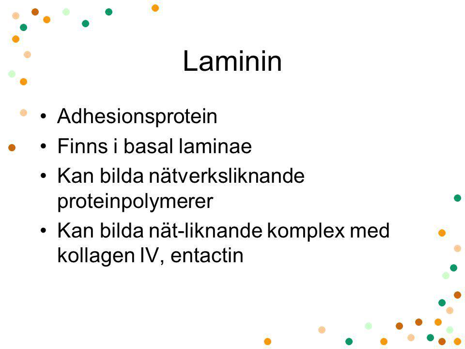 Laminin Adhesionsprotein Finns i basal laminae
