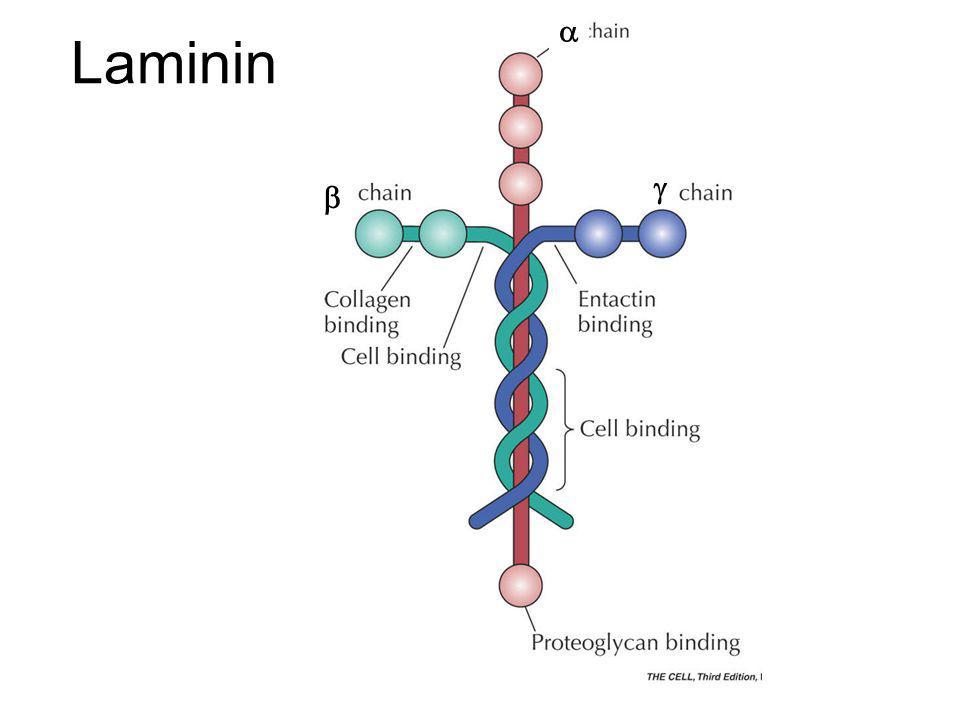 a Laminin g b \Figures_Hi-res\ch12\cell3e12600.jpg