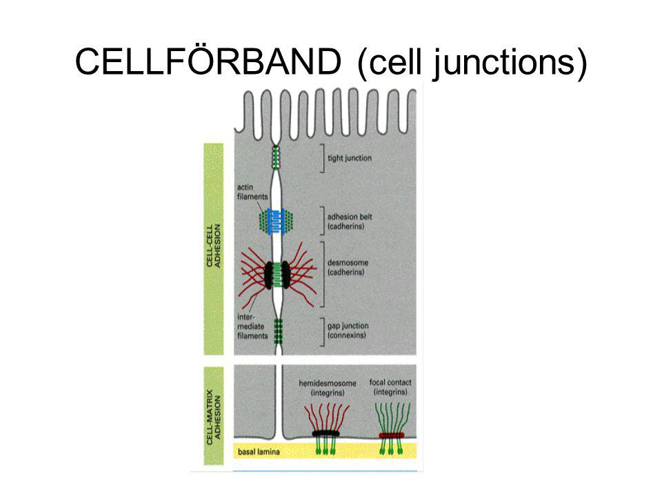 CELLFÖRBAND (cell junctions)