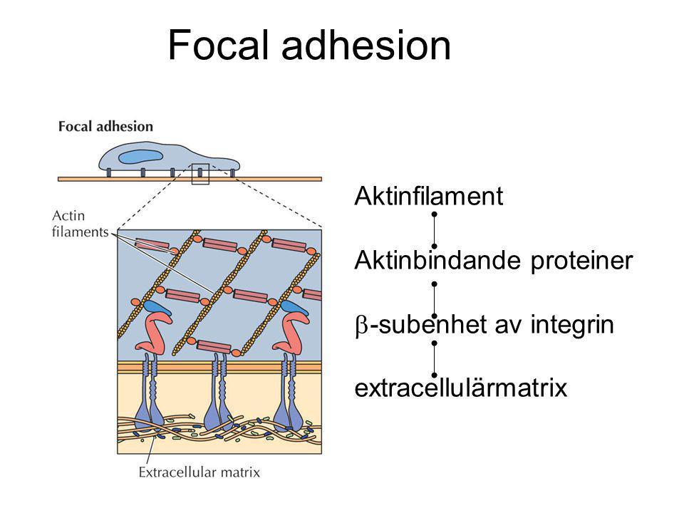Focal adhesion Aktinfilament Aktinbindande proteiner