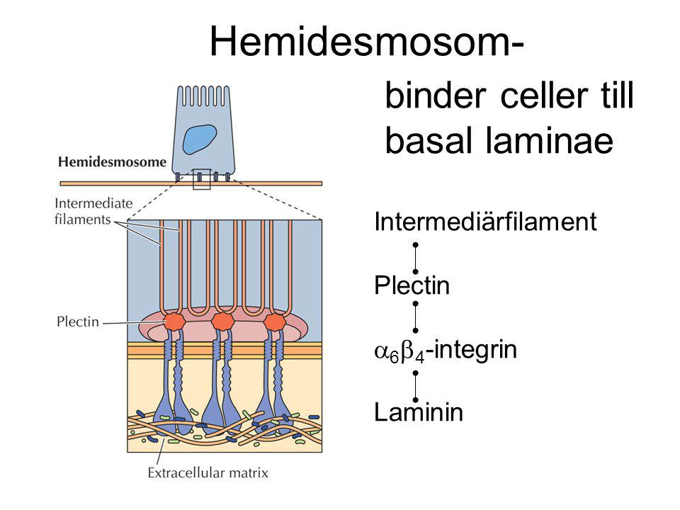 Hemidesmosom- binder celler till basal laminae Intermediärfilament
