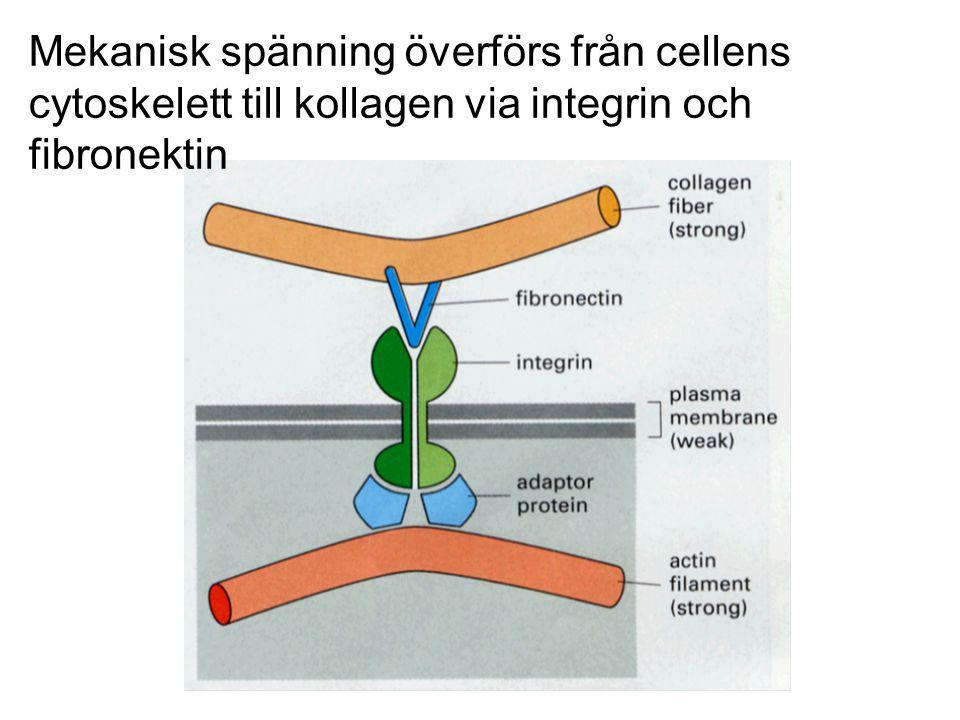 Mekanisk spänning överförs från cellens cytoskelett till kollagen via integrin och fibronektin