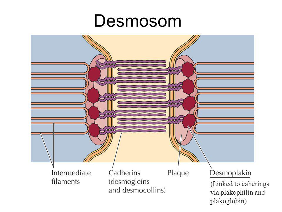 Desmosom (Linked to caherings via plakophilin and plakoglobin)