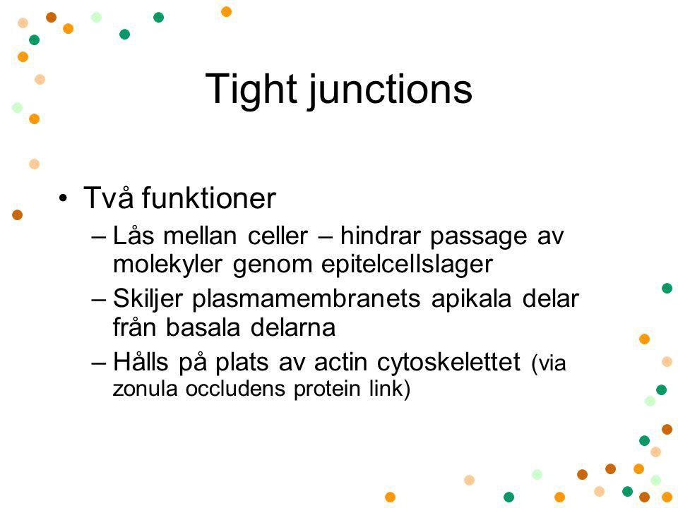 Tight junctions Två funktioner