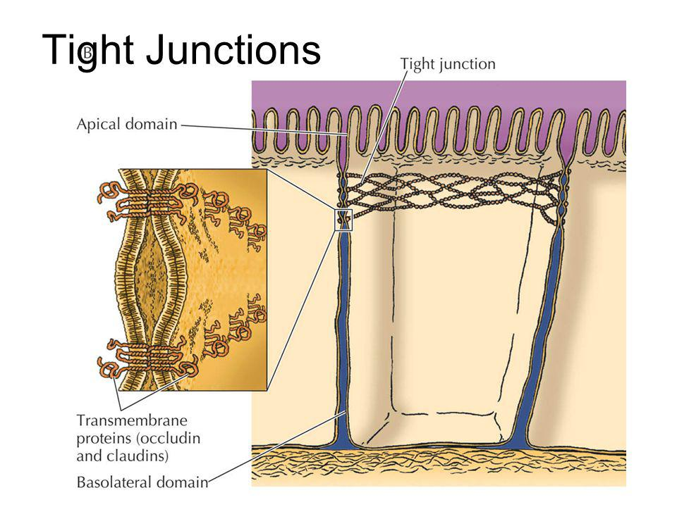 Tight Junctions \Figures_Hi-res\ch12\cell3e12652.jpg