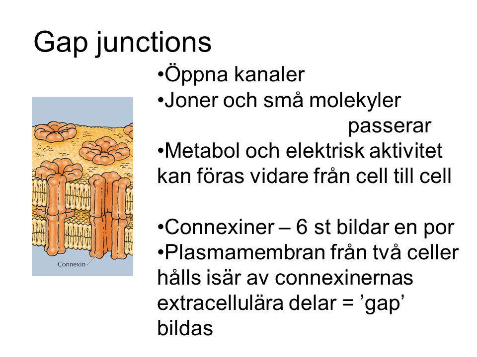 Gap junctions Öppna kanaler Joner och små molekyler passerar
