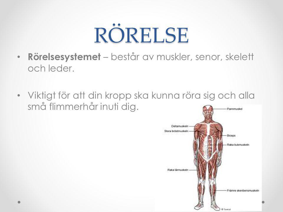 RÖRELSE Rörelsesystemet – består av muskler, senor, skelett och leder.