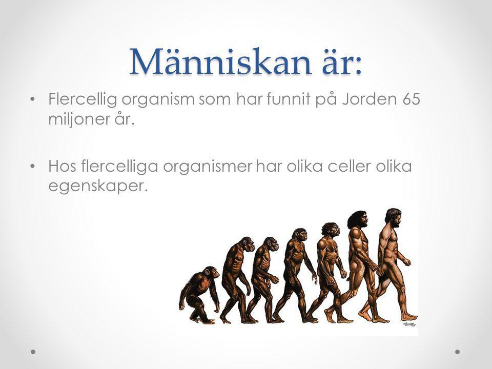 Människan är: Flercellig organism som har funnit på Jorden 65 miljoner år.