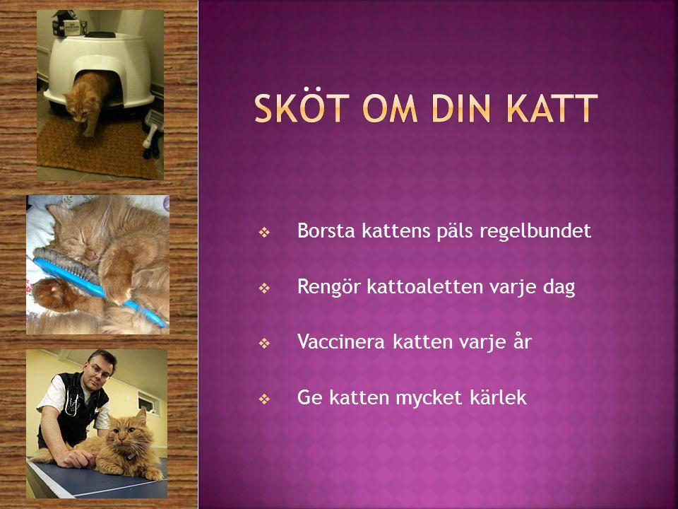 Sköt om din katt Borsta kattens päls regelbundet