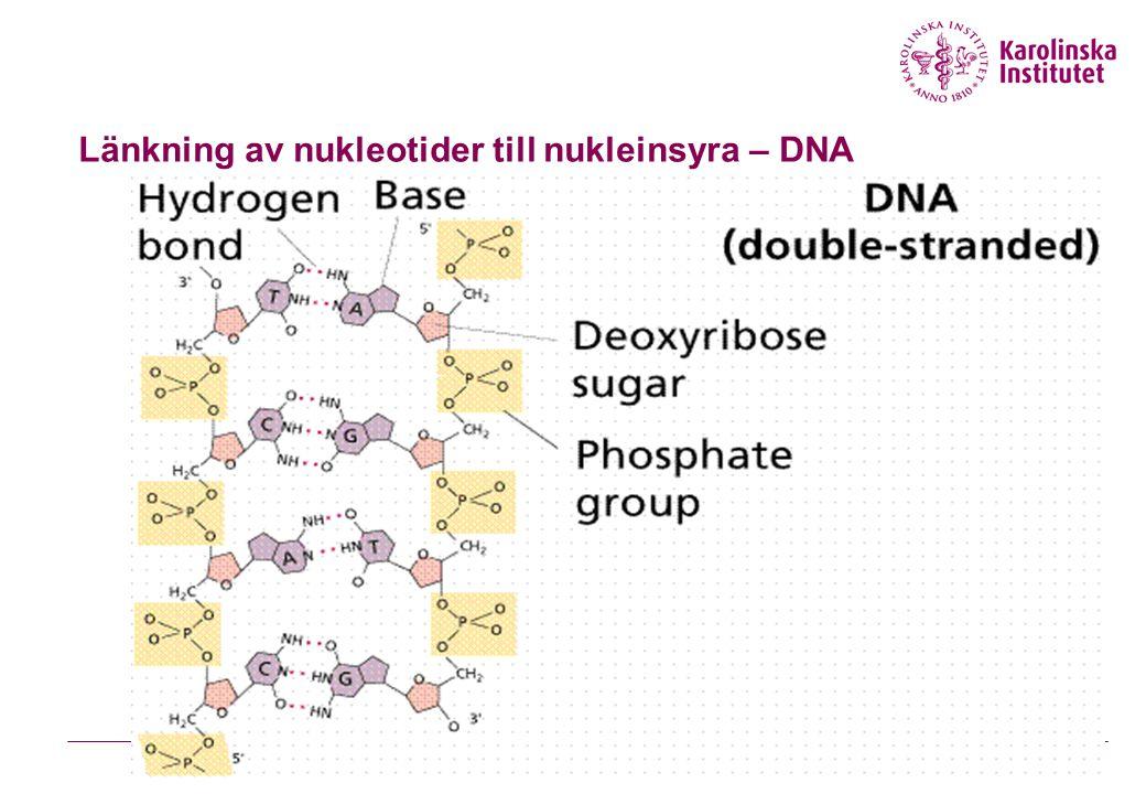 Länkning av nukleotider till nukleinsyra – DNA