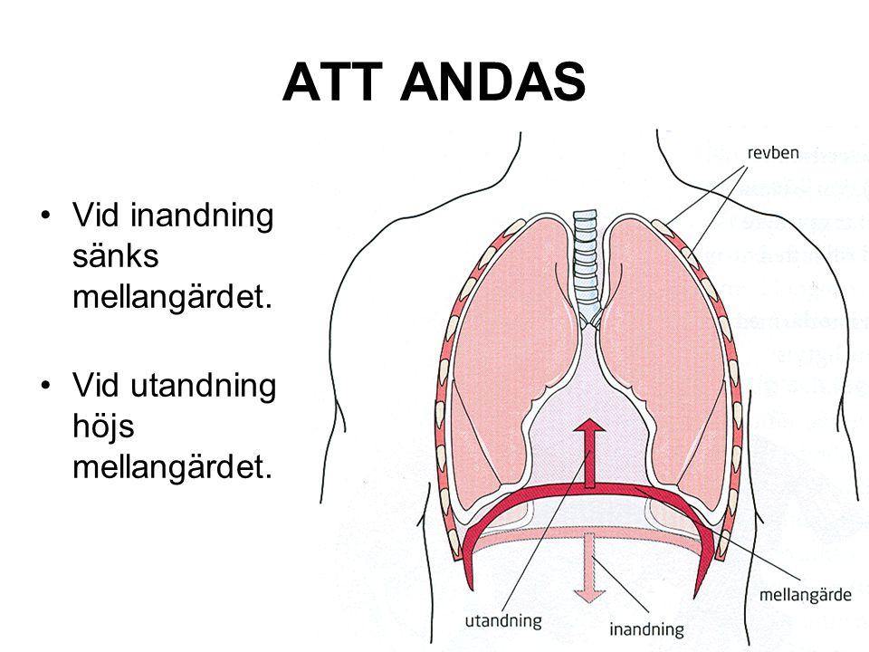 ATT ANDAS Vid inandning sänks mellangärdet.