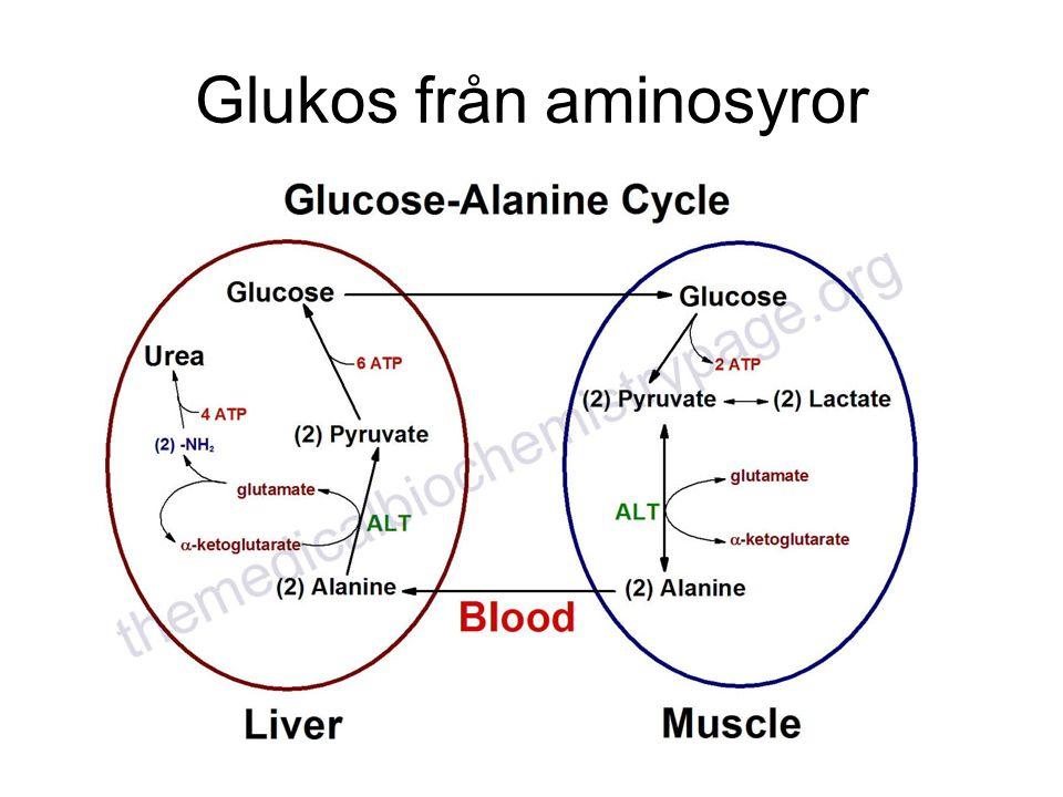Glukos från aminosyror