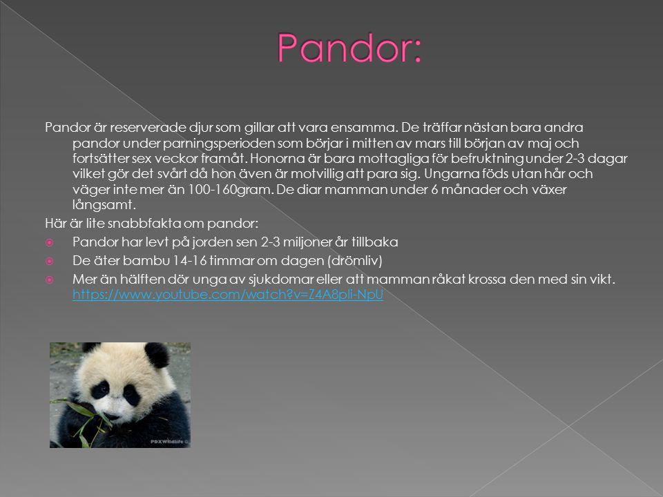 Pandor: