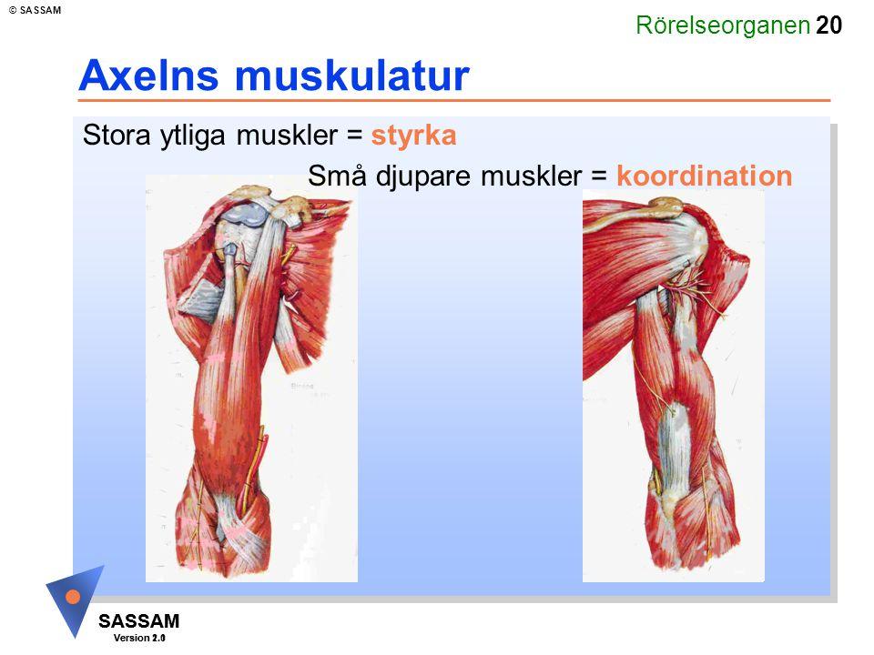 Axelns muskulatur Stora ytliga muskler = styrka
