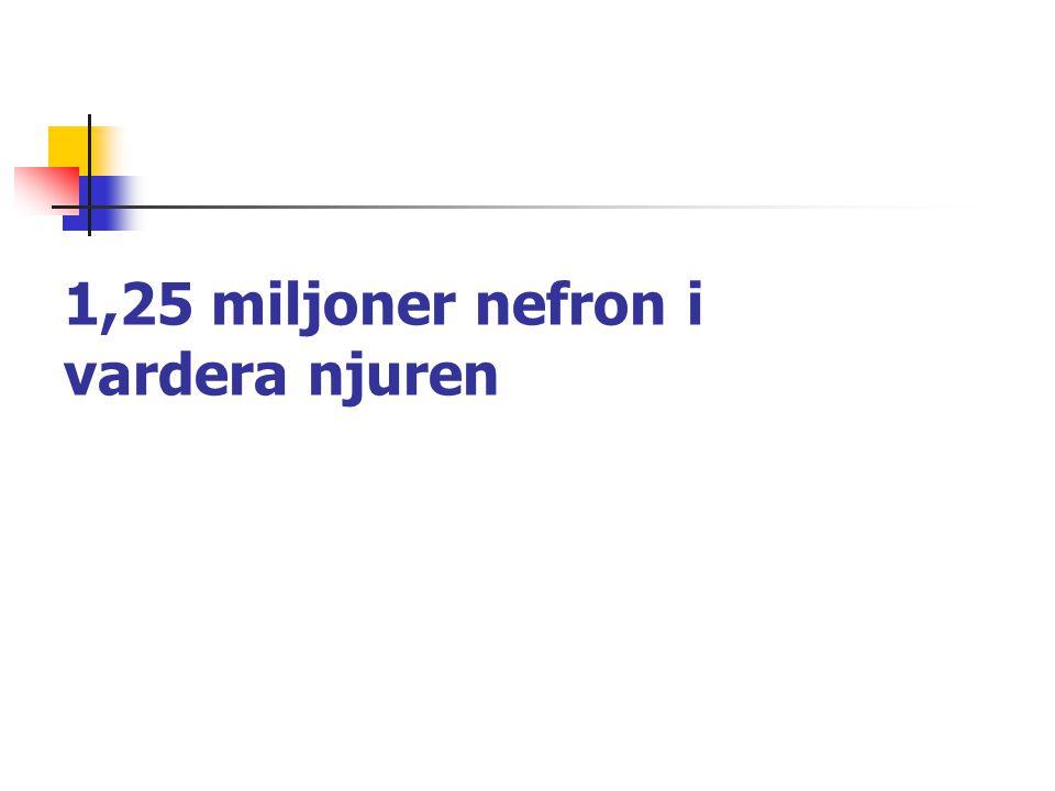 1,25 miljoner nefron i vardera njuren