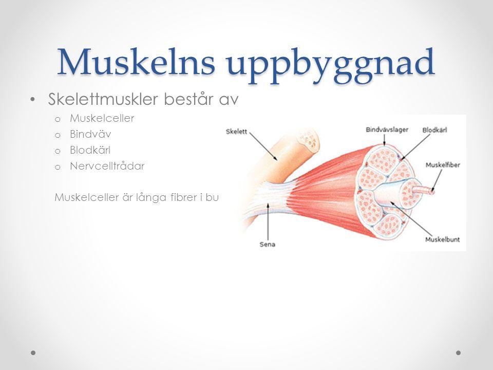 Muskelns uppbyggnad Skelettmuskler består av Muskelceller Bindväv