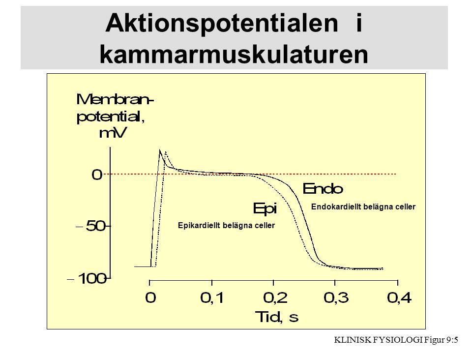 Aktionspotentialen i kammarmuskulaturen