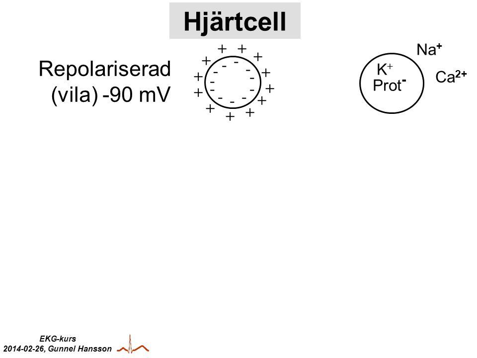 Hjärtcell + - Na+ Repolariserad (vila) -90 mV K+ Ca2+ Prot-
