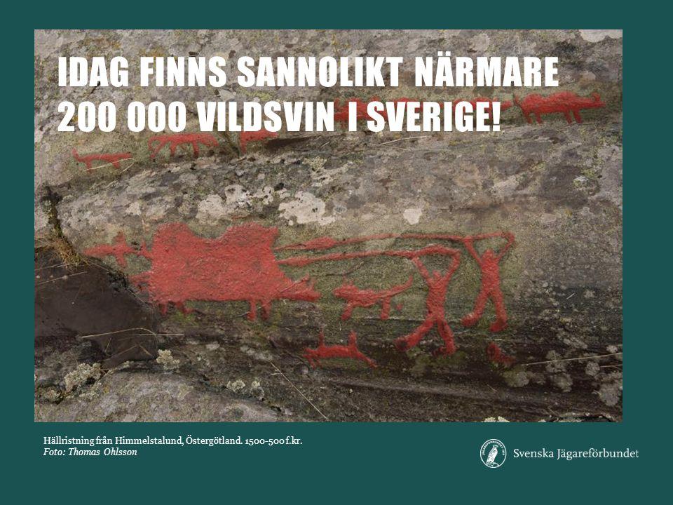 IDAG finns sannolikt närmare 200 000 vildsvin i Sverige!