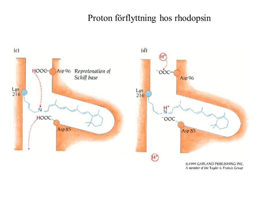 Proton förflyttning hos rhodopsin