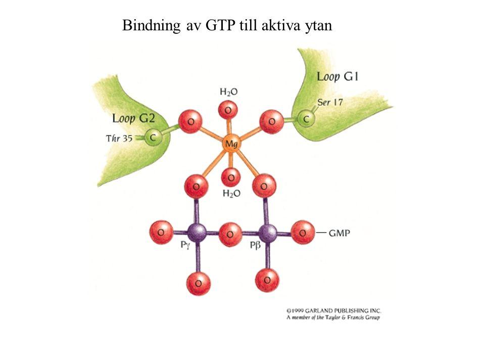 Bindning av GTP till aktiva ytan