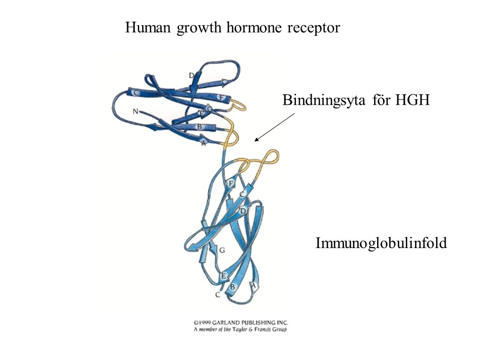 Human growth hormone receptor