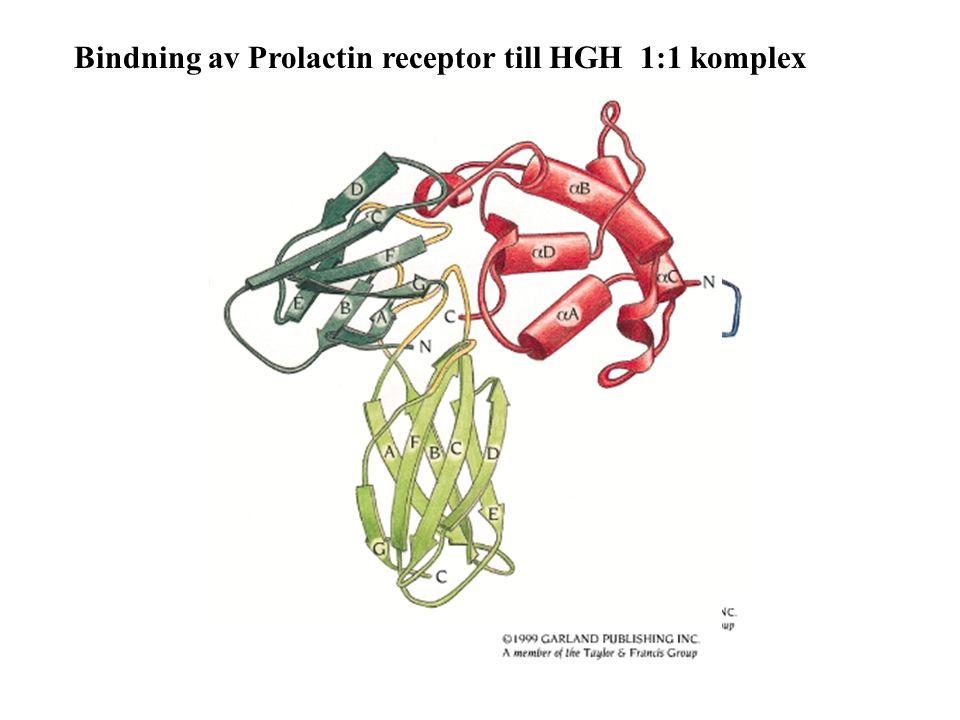 Bindning av Prolactin receptor till HGH 1:1 komplex