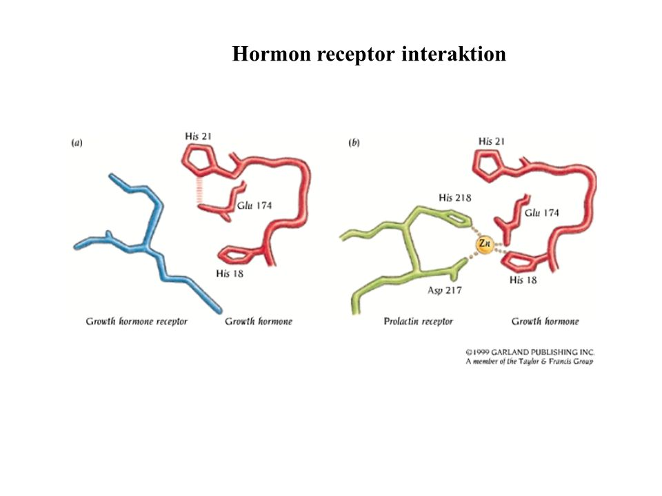 Hormon receptor interaktion