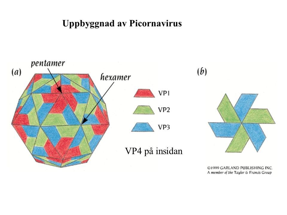 Uppbyggnad av Picornavirus