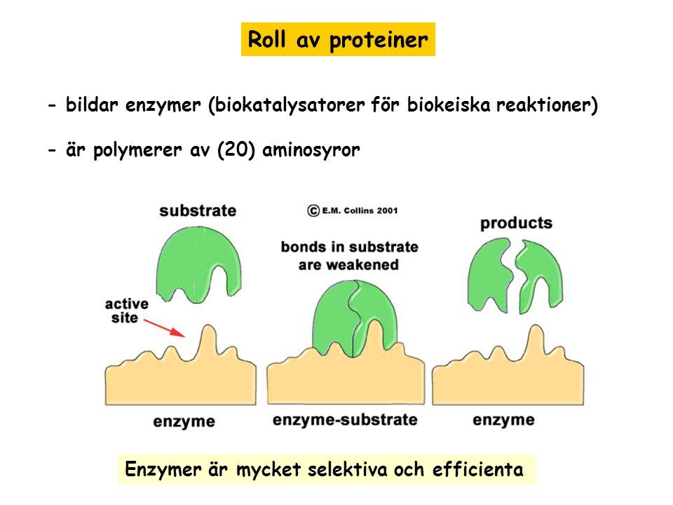 Roll av proteiner - bildar enzymer (biokatalysatorer för biokeiska reaktioner) - är polymerer av (20) aminosyror.