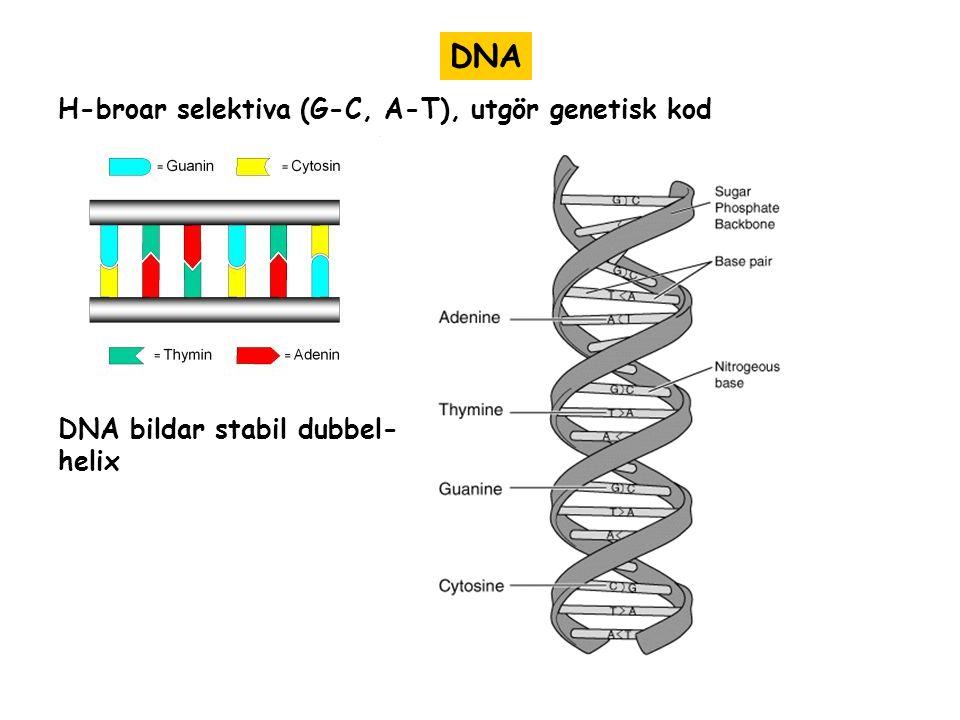 DNA H-broar selektiva (G-C, A-T), utgör genetisk kod