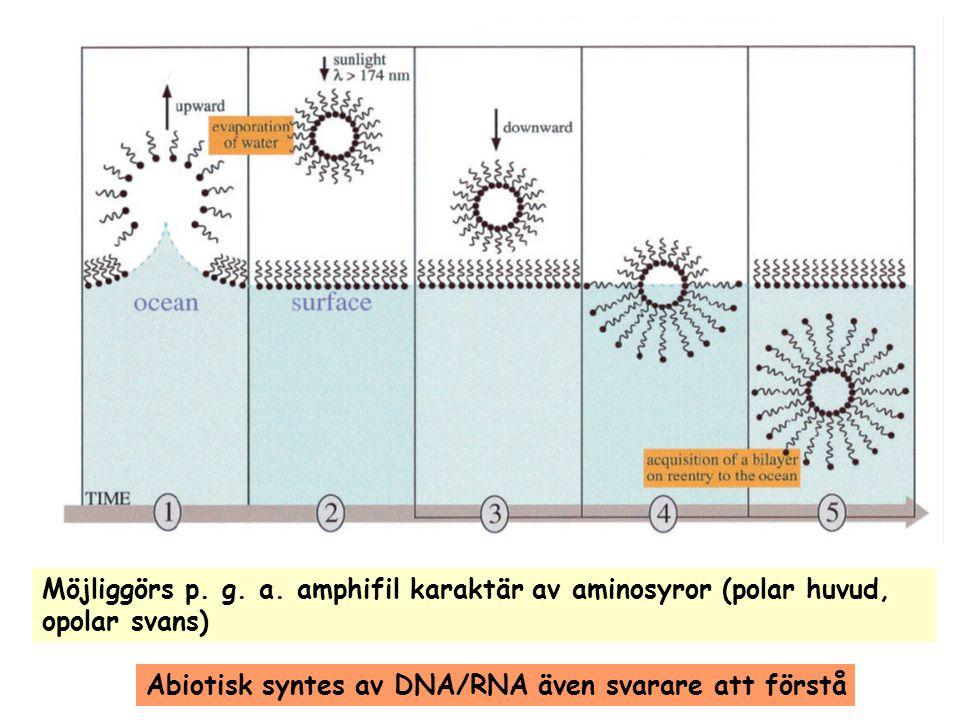 Möjliggörs p. g. a. amphifil karaktär av aminosyror (polar huvud,