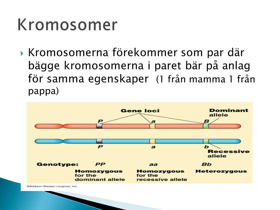 Kromosomer Kromosomerna förekommer som par där bägge kromosomerna i paret bär på anlag för samma egenskaper (1 från mamma 1 från pappa)