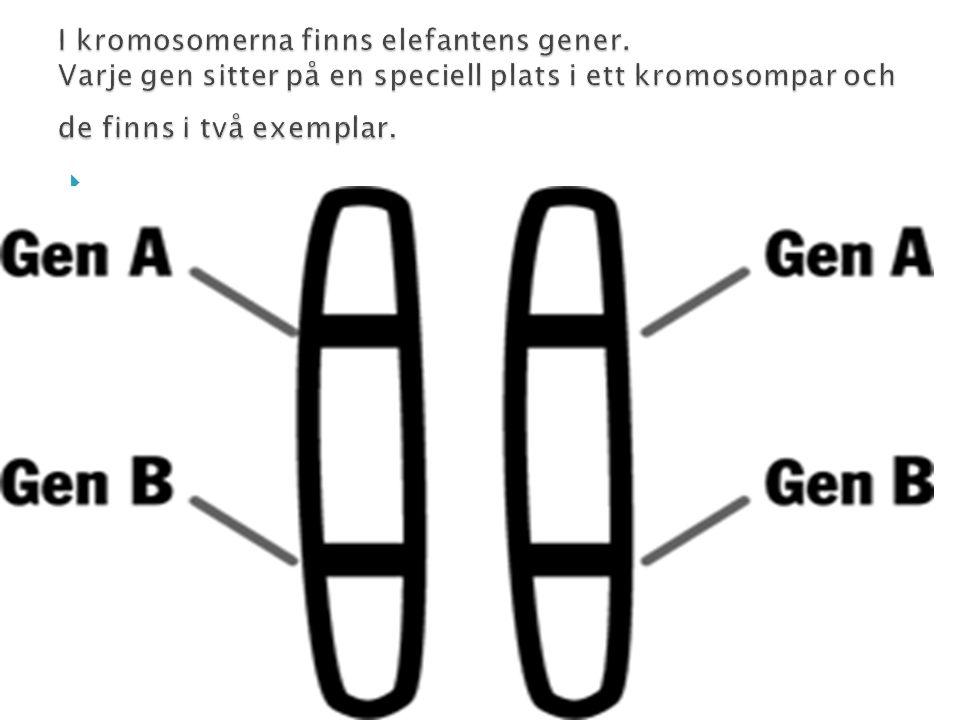 I kromosomerna finns elefantens gener