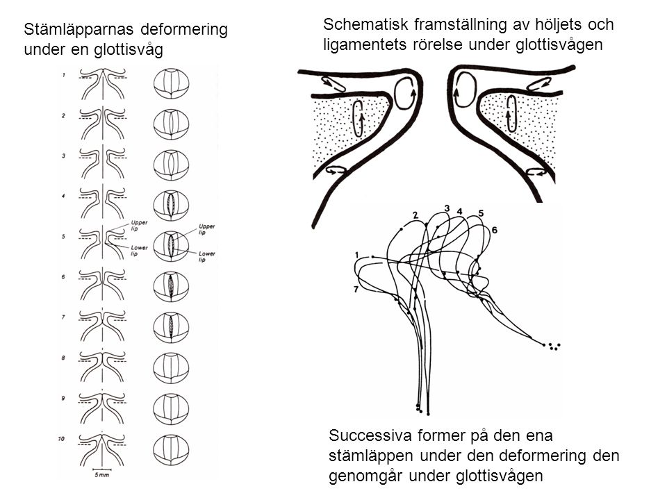 Schematisk framställning av höljets och ligamentets rörelse under glottisvågen
