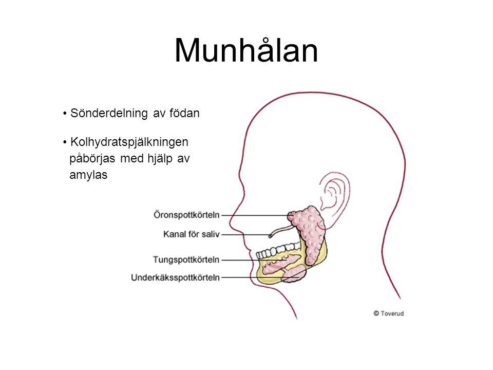 Munhålan Sönderdelning av födan Kolhydratspjälkningen