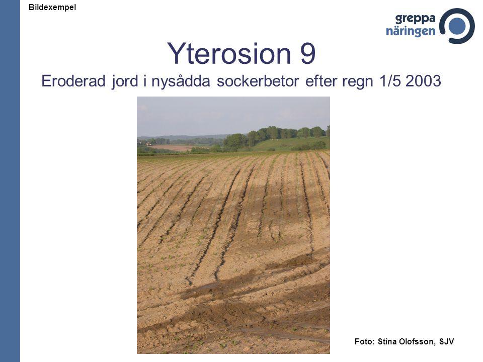 Yterosion 9 Eroderad jord i nysådda sockerbetor efter regn 1/5 2003