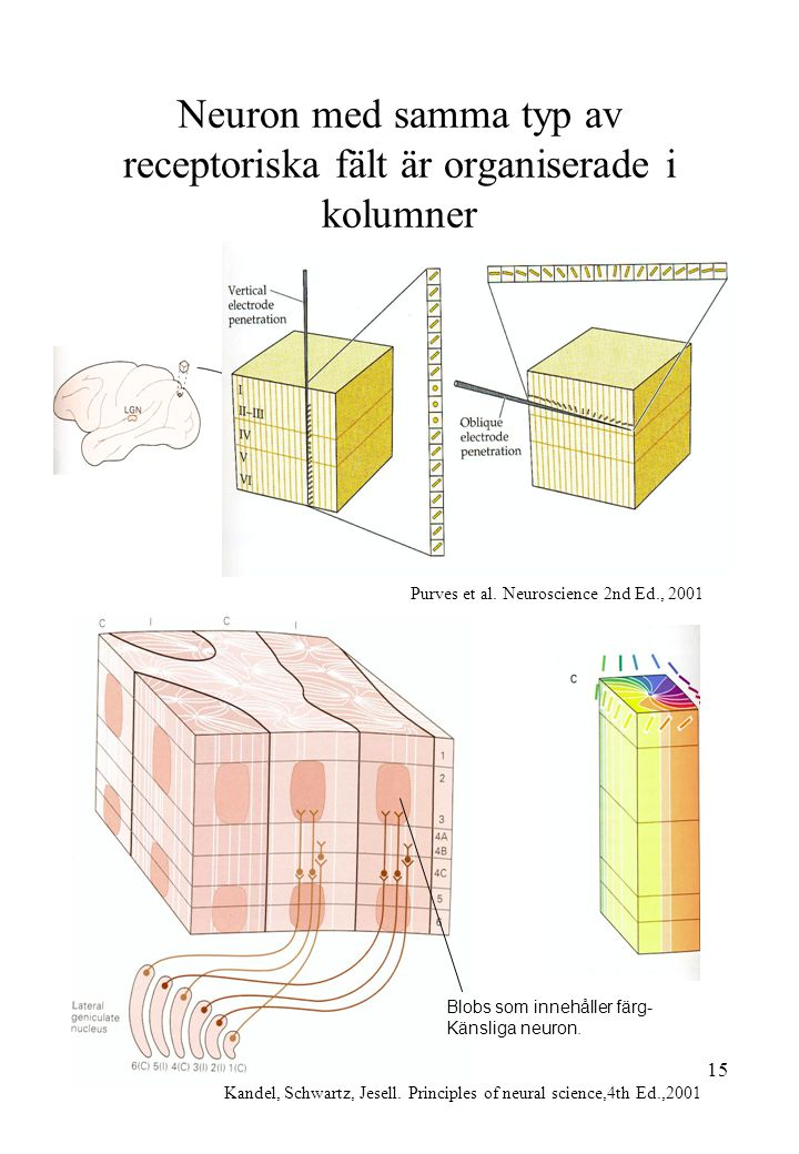 Neuron med samma typ av receptoriska fält är organiserade i kolumner