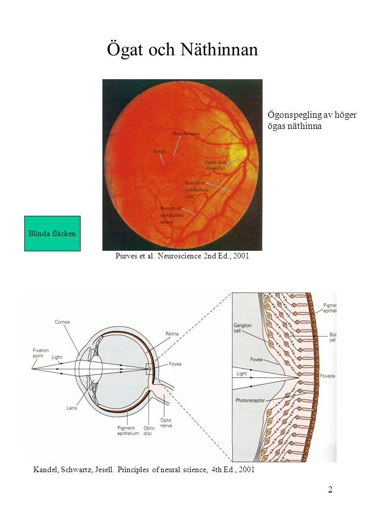 Ögat och Näthinnan Ögonspegling av höger ögas näthinna Blinda fläcken