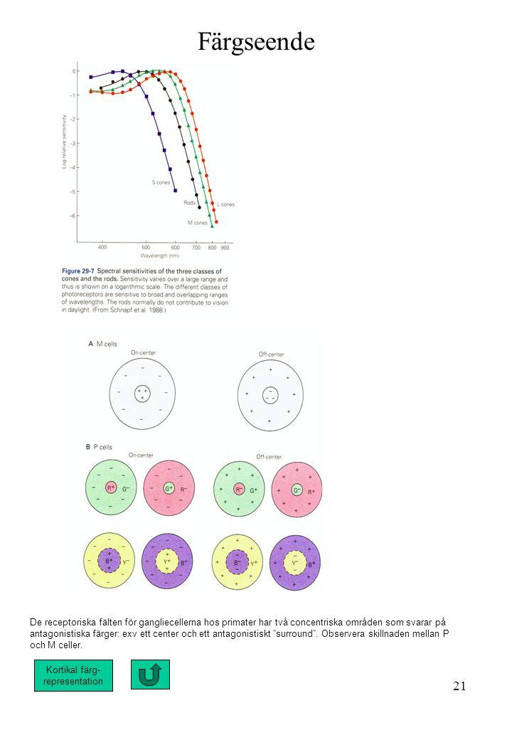 Färgseende De receptoriska fälten för gangliecellerna hos primater har två concentriska områden som svarar på.