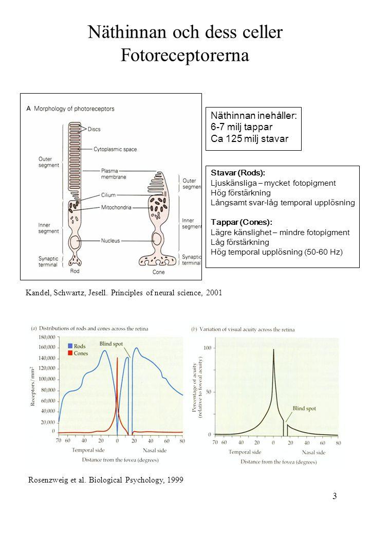 Näthinnan och dess celler Fotoreceptorerna