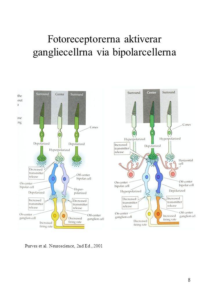 Fotoreceptorerna aktiverar gangliecellrna via bipolarcellerna