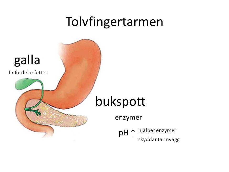 Tolvfingertarmen galla bukspott pH ↑ enzymer finfördelar fettet