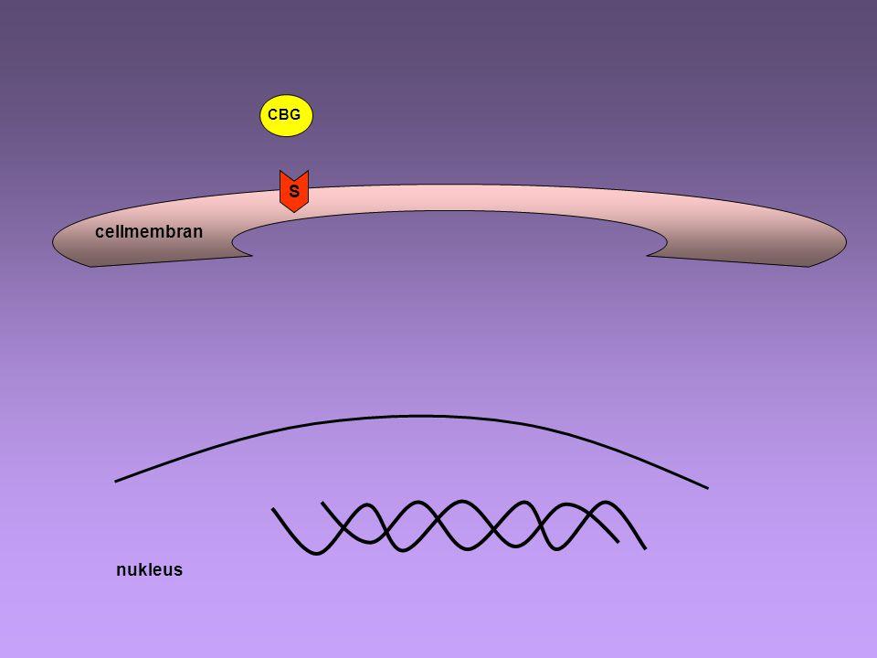 CBG S cellmembran nukleus